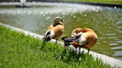 The ruddy shelducks (Tadorna ferruginea) stay on the bank of a pond. Stock Footage