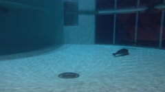 California Sea Lions Also Known As Seals Swimming In An Aquarium Stock Footage