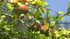 4K Raw pomegranate fruit hang tropical tree green leaf organic orchard farm day  Stock Footage