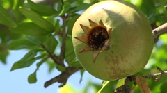 4K Closeup unripe pomegranate exotic fruit hang tree branch delicious food day   Stock Footage