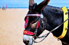 Attraction for tourist  ride on donkey on the beach. Blur background...... - stock photo