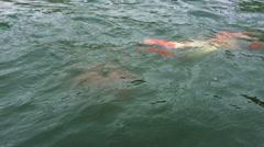 Stock Video Footage of Carp fish swimming