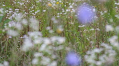 Dew on the knapweed flower Stock Footage