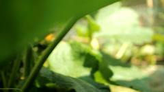 Courgette flower in garden Stock Footage