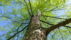 A large greening birch on the background of the spring sky. Stock Footage