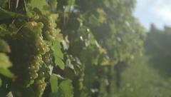 Sunlight Through Vineyard With Grapes- Pan (Canon Log) Stock Footage