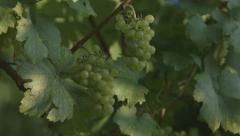 Vine With Grapes - Pan (Canon Log) Stock Footage