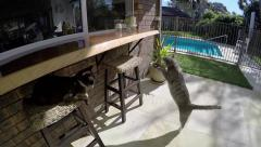 Cat jumps onto servery other cat watches slow motion.mp4 Stock Footage