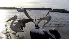 Australian pelican flies off boat landing slow motion Terrigal NSW Australia. Stock Footage