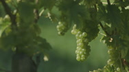 Stock Video Footage of Vine With Grapes - Slide (Canon Log)