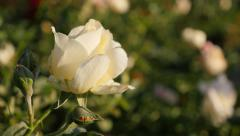 Stock Video Footage of Woody perennial rose flower  in the garden  shallow DOF 4K 2160p UltraHD foot