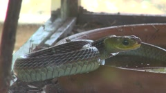 Cold blooded animal hunter green snake in attack position - stock footage