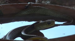 Cold blooded animal hunter snake ready to attack - stock footage