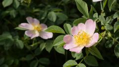 Rosa rubiginosa wild rose flower in the forest 4K 2160p 30fps UltraHD footage Stock Footage