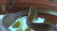 Cold blooded animal scared snake ready to attack - stock footage