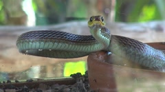 Cold blooded animal hunter snake in attack position Stock Footage
