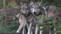 Pack of Gray Wolves in the forest Stock Footage