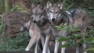 Stock Video Footage of Pack of Gray Wolves in the forest
