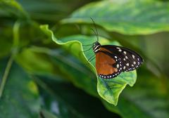Stock Photo of Tiger Longwing butterfly (Heliconius hecale)