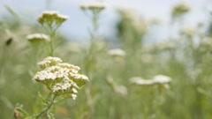 Achillea millefolium herbal plant outdoor natural 4K 2160p UltraHD footage - Stock Footage