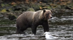 Stock Video Footage of Bears in Alaska
