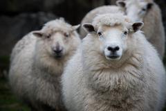 Close up face of new zealand merino sheep in farm Stock Photos