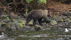 Bears in Alaska Stock Footage