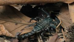 Wildlife animals of jungle rain forest - dangerous Giant Scorpion hiding Stock Footage