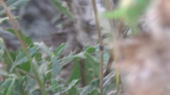 Thistles, grasshopper moves Stock Footage