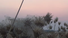 Thistles, grasshopper, sunset Stock Footage