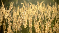 Playing with a dry fluffy grass Stock Footage