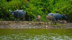 Group of Water Buffalo on a River Bank Stock Footage