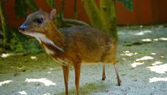 Cute Chevrotain Approaches Tourist to Accept Food at Petting Zoo Stock Footage