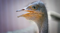 Closeup of an Ostrich's Head with its Mouth Agape Stock Footage