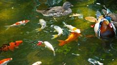 Mandarin Ducks and Koi in a Bird Park Stock Footage