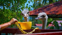 Tourist Feeding a Pair of Hungry Ostriches at a Zoo Stock Footage