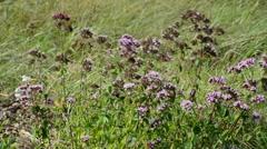 Flowering marjoram in  wind Stock Footage
