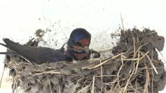 4K Adult swallow bird build carefully nest family birdnest birdhouse wild house  Stock Footage