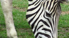 Zebra up close head shot seen grazing Stock Footage