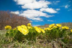 Yellow flowers (Adonis vernalis) Stock Photos