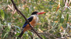 Black-capped Kingfisher (Halcyon pileata) in nature Stock Footage