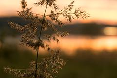 Bushgrass spike close-up shot with sunset lake background Stock Photos