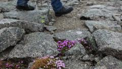 Hiker feet wearing boots walking on the rocky road near growing blue flowers Stock Footage