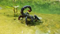Black scorpion near water in wildlife  Stock Footage