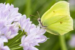 Brimstone butterfly - stock photo