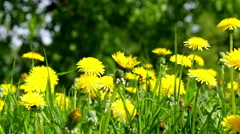 Spring meadow with beautiful yellow dandelions Stock Footage