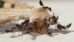 The ants take their eyes of moths and the wing Stock Footage