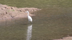 Great Egret is striding purposely across the wetlands - stock footage