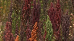 Colorful Quinoa plants in Bolivia (1) Stock Footage
