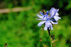 Chicory flower Stock Photos
